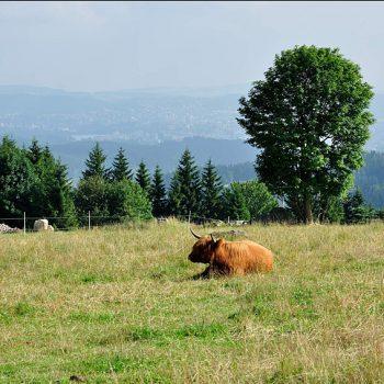 jizeerky a kráva