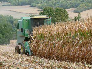 kukuřice sklizeň