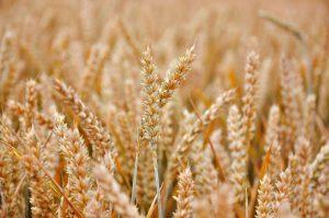 pšenice-porost