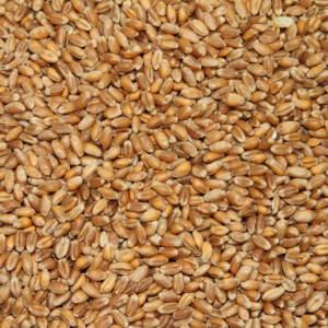 pšenice-zrno